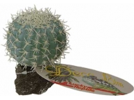 Mexican Pincushion Cactus 8cm
