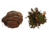 Rostlina Rose of Jericho